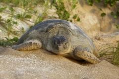 IMG_3631_prnt_loggerhead_turtle_prof